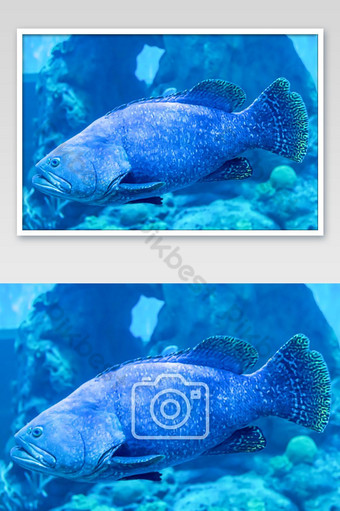 Colorful fish or Epinephelus lanceolatus in the sea background the coral , Thailand. Photo Template JPG