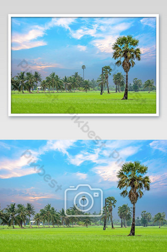 Palm and coconut trees in the paddy field and the beauty of the sky. Photo Template JPG