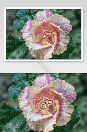 زهرة الكركديه تتفتح في الصورة الحديقة التصوير قالب JPG