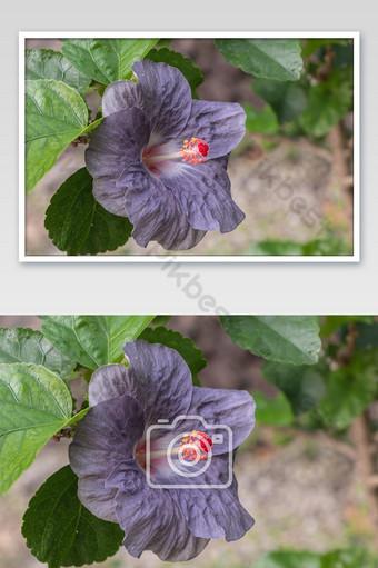 صور زهرة الكركديه الأرجواني الجميلة في الحديقة التصوير قالب JPG