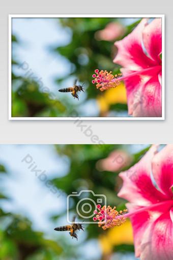 الصورة عن قرب زهرة الكركديه الوردي والنحلة التصوير قالب JPG