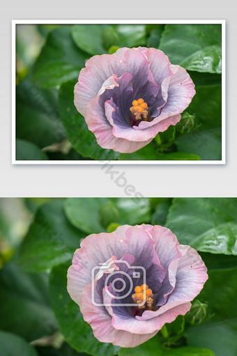 زهرة الكركديه تتفتح في الصورة حديقة زهرة الكركديه الاستوائية الفاخرة التصوير قالب JPG