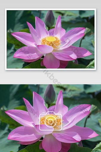 hermosa rosa nenúfar flor de loto indio foto de loto sagrado Fotografía Modelo JPG
