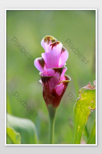 كركم أليسماتيفوليا هو نبات استوائي موطنه تايلاند في وقت ما يسمى سيام توليب الصورة التصوير قالب JPG