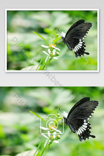 The Common Mormon butterfly and flower in the garden.Black and white butterfly. Photo Template JPG