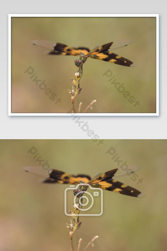 rhyothemis is a genus of dragonfly in the family libellulidae.black and yellow dragonfly.