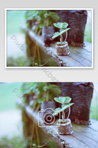 Close up strawberry seeding on wooden table in garden, Vintage film photo with grain photo Photo Template JPG