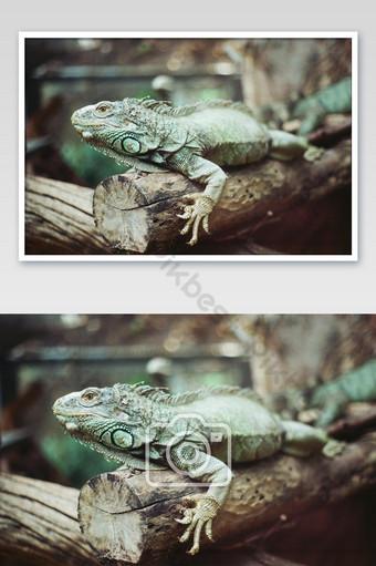 قرب iguanas على الأخشاب في صورة فيلم عتيق لحديقة الحيوان مع صورة الحبوب أو الضوضاء التصوير قالب JPG