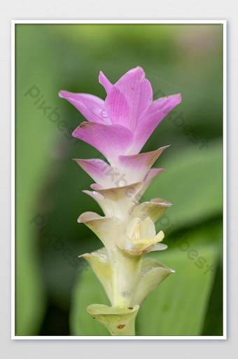 عن قرب سيام توليب زهرة كركم أليسماتيفوليا نبات استوائي موطنه صورة تايلاند التصوير قالب JPG