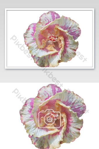 ثوب قرنفلي اللون، أيضا، الأصفر، زهرة الكركديه، أزهر، على أبيض، عزل عزل، الخلفية التصوير قالب JPG