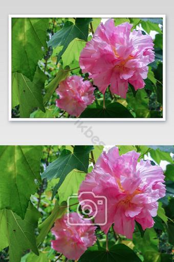 عن قرب زهرة الكركديه القطن في حديقة زهرة القطن الوردي التركيز الانتقائي التصوير قالب JPG