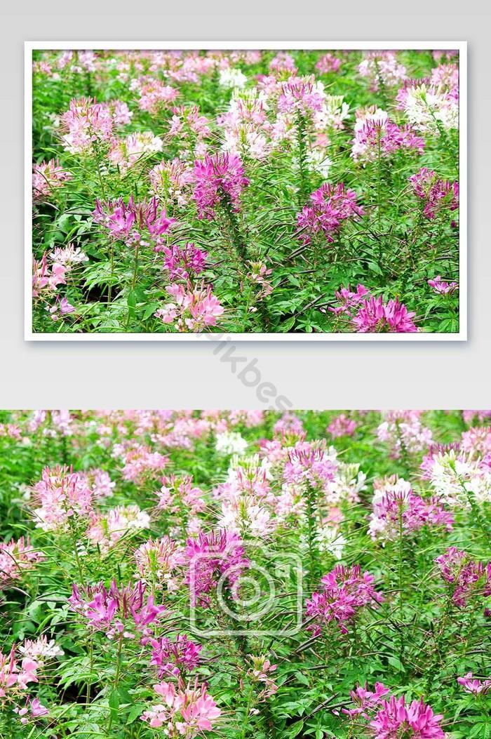 rosa und weiße schöne spinnenblume im garten