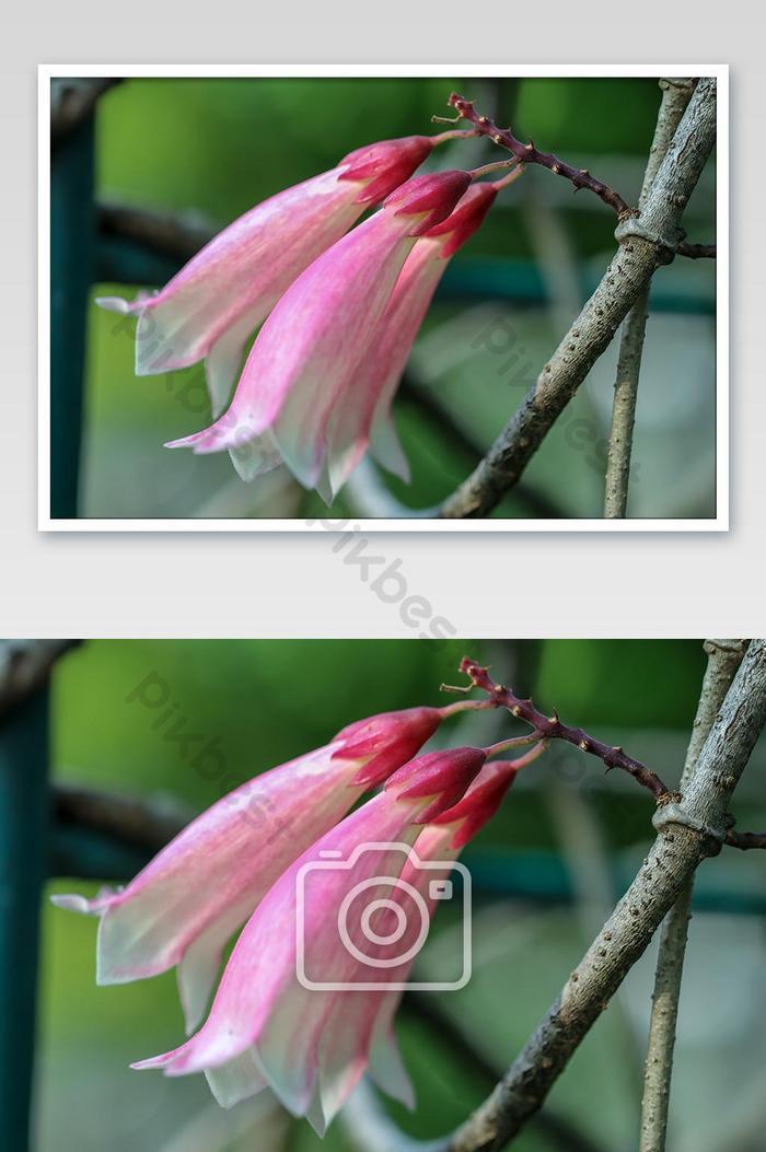 一朵美麗的花名新幾內亞小號藤森林貝爾爬山虎