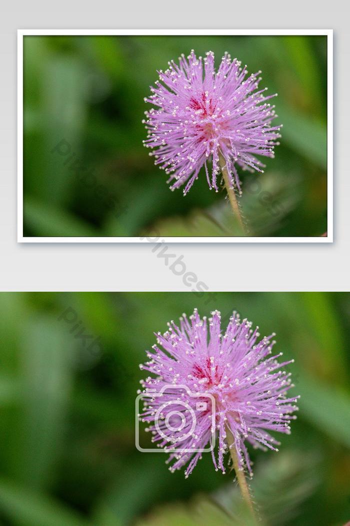 różowy kwiat wrażliwej rośliny nazywany jest również mimosa pudica rośliną czynną dormilones