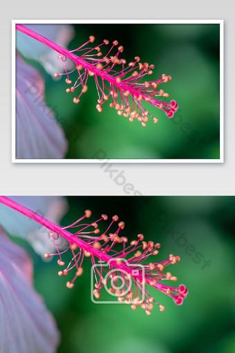 عن قرب حبوب اللقاح زهرة الكركديه التركيز الانتقائي تتفتح زهرة الكركديه في الحديقة التصوير قالب JPG