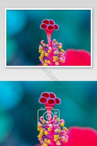 عن قرب حبوب اللقاح الحمراء زهرة الكركديه التركيز الانتقائي تتفتح زهرة الكركديه في الحديقة التصوير قالب JPG