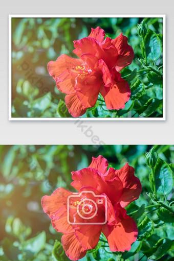 عن قرب حبوب اللقاح الحمراء زهرة الكركديه التركيز الانتقائي زهرة الكركديه الأحمر تتفتح في حديقة التصوير قالب JPG