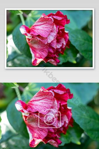 قرب زهرة الكركديه الأحمر التركيز الانتقائي زهرة الكركديه الأحمر تتفتح في الحديقة التصوير قالب JPG