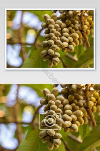 Detail of fruit cluster Champaca fruits on tree.Champak or Michelia champaca tree. Photo Template JPG