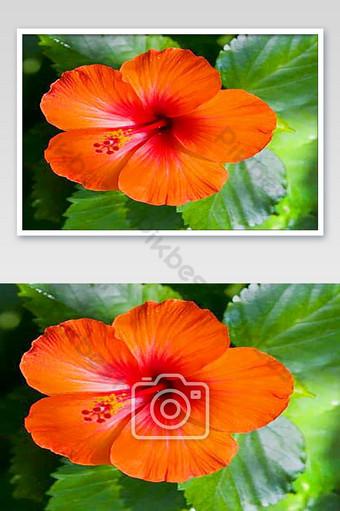 صور زهرة حمراء جميلة التصوير قالب JPG