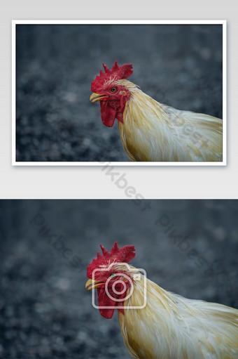 Los machos de las gallinas son blancos y sus cabezas son de pollo gallo rojo. Fotografía Modelo JPG