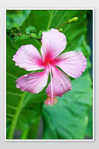 صور زهرة الكركديه هاواي اللذيذة لطيفة جدا التصوير قالب JPG