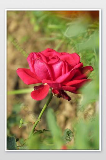 Flor rosa roja sobre un fondo de borrosas rosas rojas en un jardín de rosas Fotografía Modelo JPG