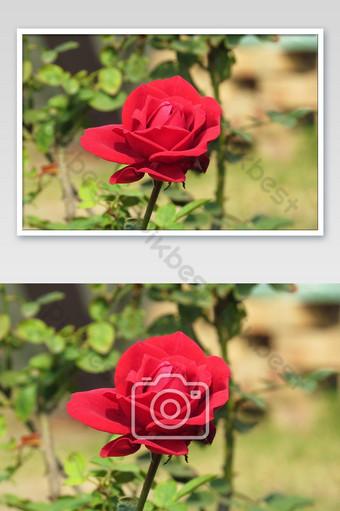 flor rosa roja que florece en el jardín de rosas en el fondo naturaleza flor rosa roja Fotografía Modelo JPG