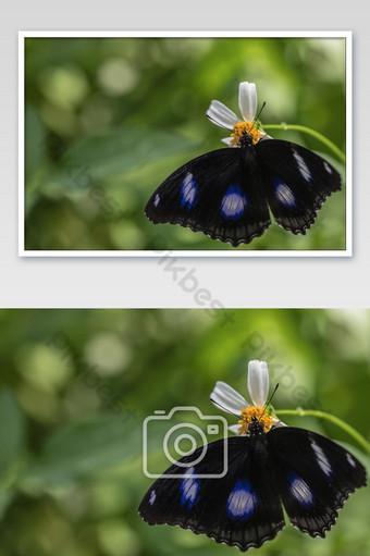 فراشة البيض كبيرة hypolimnas بولينا jacintha فراشة وزهرة في الحديقة التصوير قالب JPG