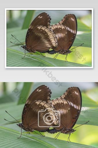 هجين كبير البيض hypolimnas بولينا jacintha الفراشات الفراشة في الحديقة التصوير قالب JPG