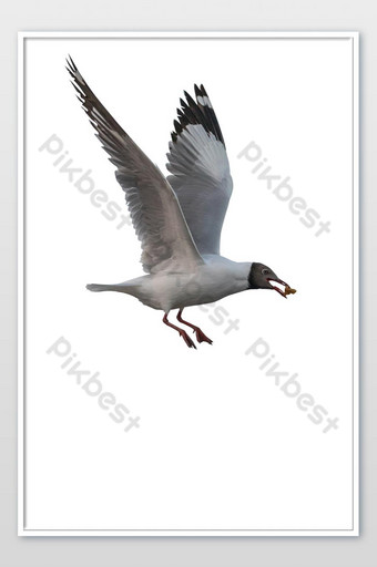 Seagull isolated on white background and with clipping path.Bird flying on white. Photo Template JPG