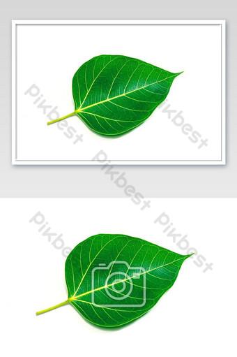 ใบโพธิ์สีเขียวหรือใบโพธิ์สัญลักษณ์พระพุทธรูปของเอเชียศาสนาไทยบนแยกและเท็กซ์ การถ่ายภาพ แบบ JPG