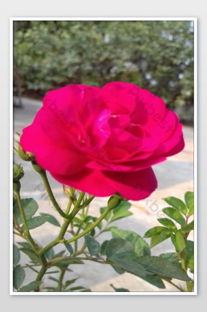 Beautiful Pink Rose Flowers Photo Jpg Free Download Pikbest