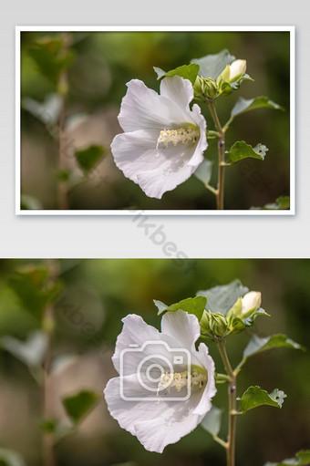 زهور الكركديه الجميلة في حديقة زهرة الكركديه روزا سينينسيس التصوير قالب JPG