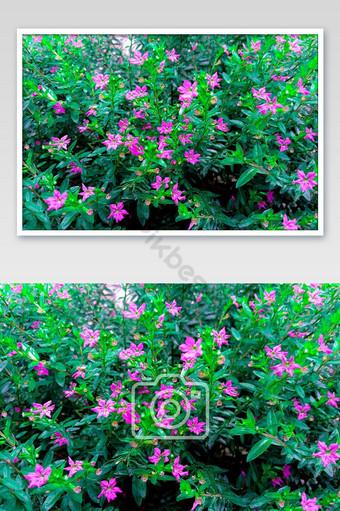 في لهجة زهرية خضراء زاهية نبات cuphea مع زهور اللون الأرجواني التصوير قالب JPG