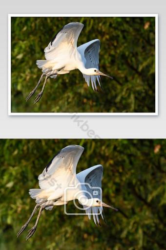(egretta garzetta) Snowy egret in flight coming in for a landing Photo Template JPG
