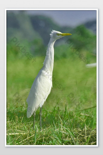 A great egret landing on a marshy land and looking for fresh catch Photo Template JPG