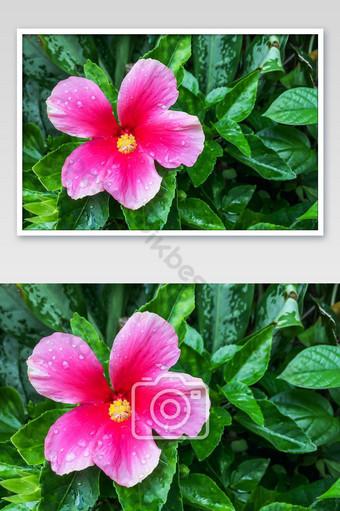 زهرة الكركديه الوردي إزهار على خلفية لون الورقة الخضراء التصوير قالب JPG