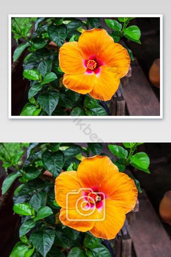 زهرة الكركديه البرتقالية تتفتح على خلفية لون الورقة الخضراء التصوير قالب JPG