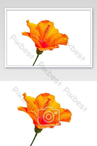 زهرة الكركديه البرتقالية تزدهر معزولة على خلفية بيضاء التصوير قالب JPG