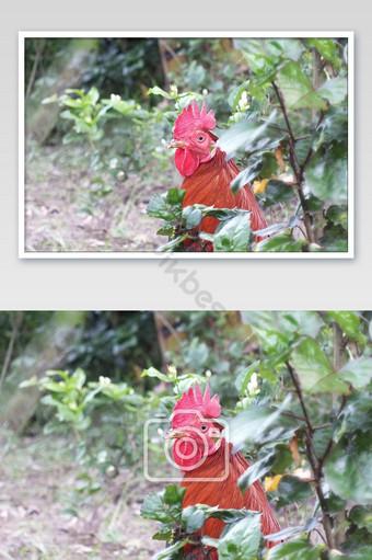 Tête de gros plan d'une poule rouge mâle La photographie Modèle JPG