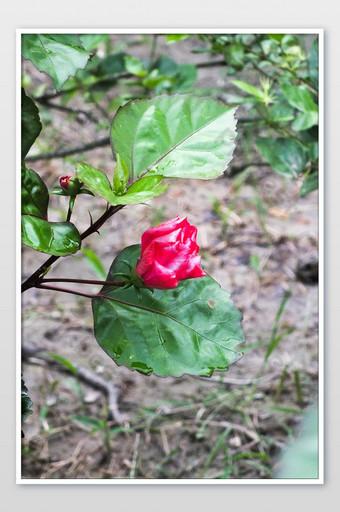 مذهلة الاستوائية زهرة الحمراء التصوير الفوتوغرافي التصوير قالب JPG