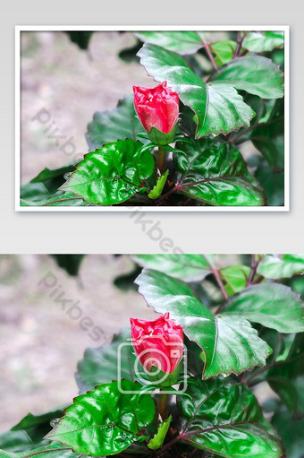 المقربة زهرة حمراء مع الأوراق الخضراء التصوير قالب JPG