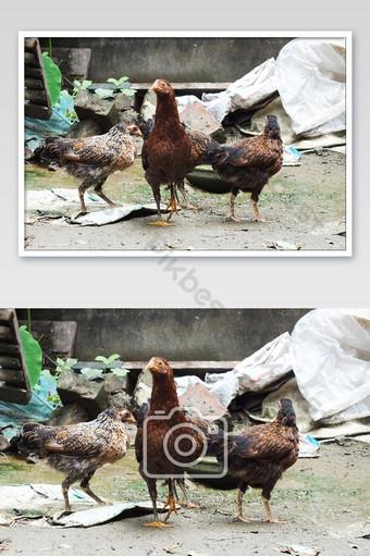مجموعة من الدجاجة الملونة في إطار واحد التصوير قالب JPG