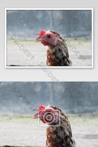 gros plan vue sur une poule rurale La photographie Modèle JPG