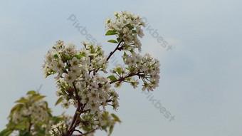 Video close up 1080p dari hembusan angin bunga pir yang bertiup di pinggir jalan di liyuan Video Templat AEP