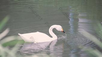 بركة الإوز الأبيض يلعب في الفيديو التصوير الفوتوغرافي المياه عالية الدقة فيديو قالب AEP