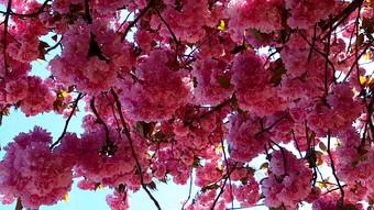 1080P wiosna kwiat wiśni roślina prawdziwy strzał Wideo Szablon AEP