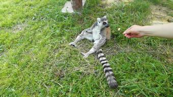 يطعم زوار حديقة الحيوانات بمعدل عرض إطارات مرتفع 4K حيوانات نادرة فيديو قالب AEP