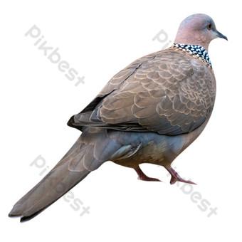 الحمام الزاجل الرمادي الطيور صور PNG قالب RAW